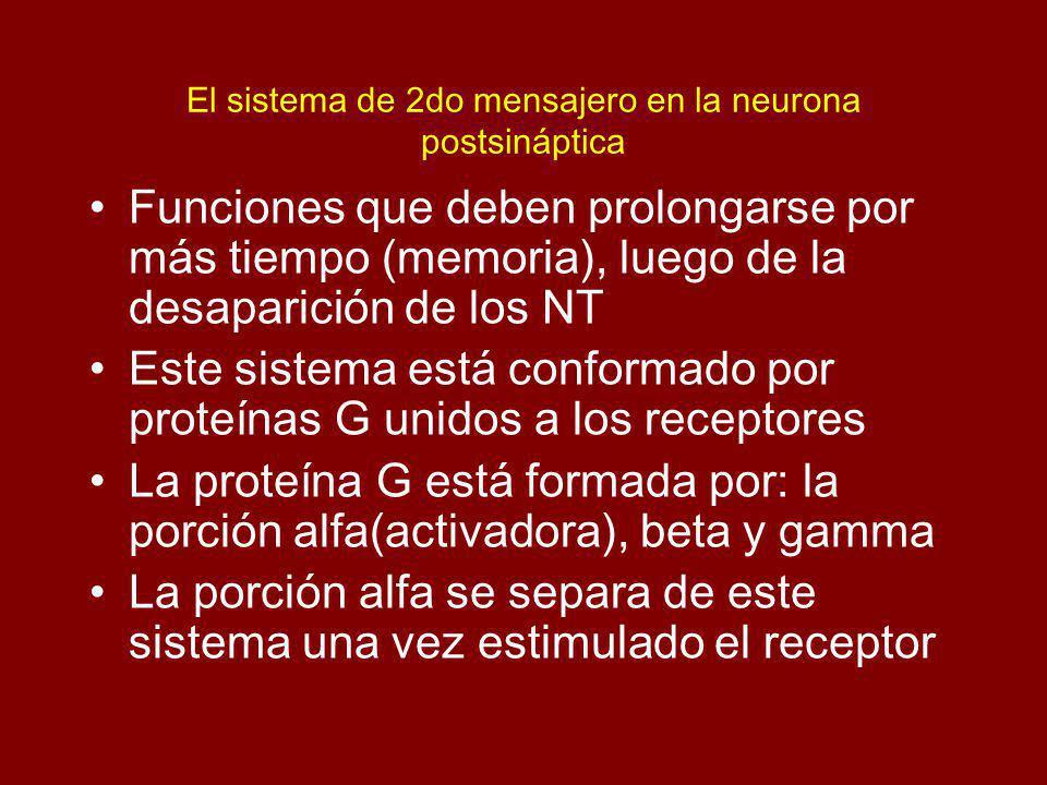 El sistema de 2do mensajero en la neurona postsináptica Funciones que deben prolongarse por más tiempo (memoria), luego de la desaparición de los NT E