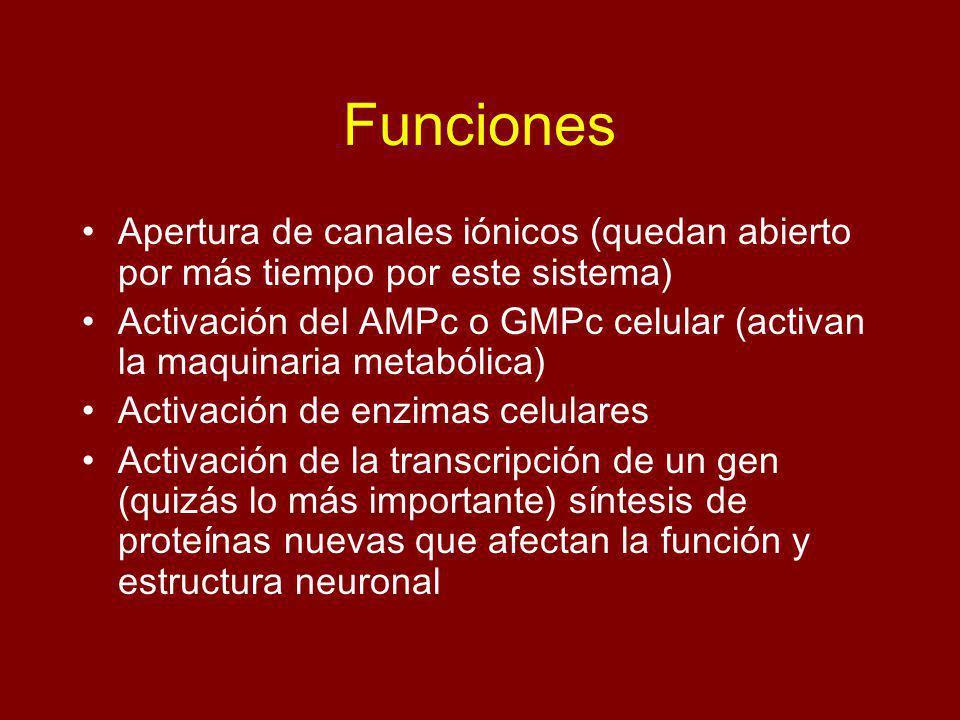 Funciones Apertura de canales iónicos (quedan abierto por más tiempo por este sistema) Activación del AMPc o GMPc celular (activan la maquinaria metab