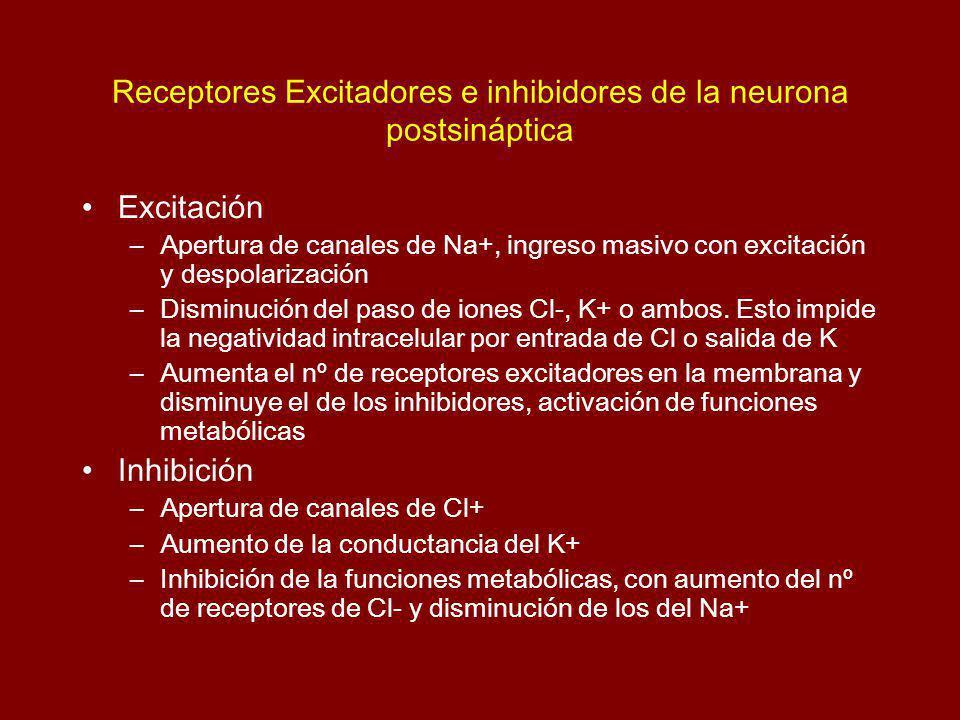 Receptores Excitadores e inhibidores de la neurona postsináptica Excitación –Apertura de canales de Na+, ingreso masivo con excitación y despolarización –Disminución del paso de iones Cl-, K+ o ambos.