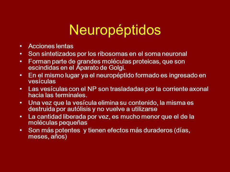 Neuropéptidos Acciones lentas Son sintetizados por los ribosomas en el soma neuronal Forman parte de grandes moléculas proteicas, que son escindidas e
