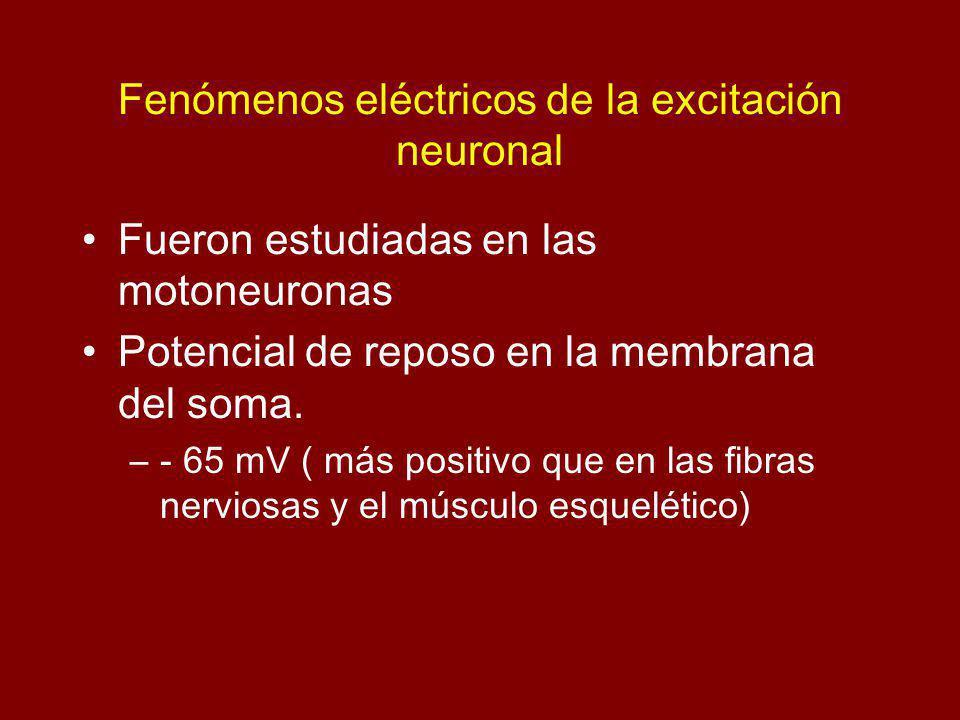 Fenómenos eléctricos de la excitación neuronal Fueron estudiadas en las motoneuronas Potencial de reposo en la membrana del soma. –- 65 mV ( más posit