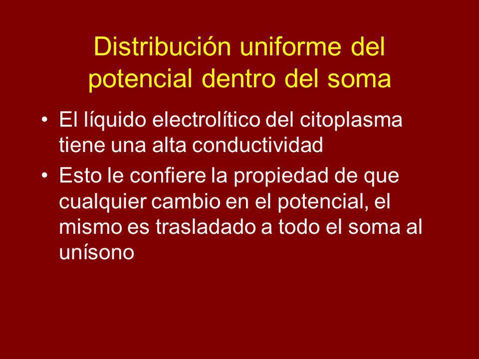 Distribución uniforme del potencial dentro del soma El líquido electrolítico del citoplasma tiene una alta conductividad Esto le confiere la propiedad