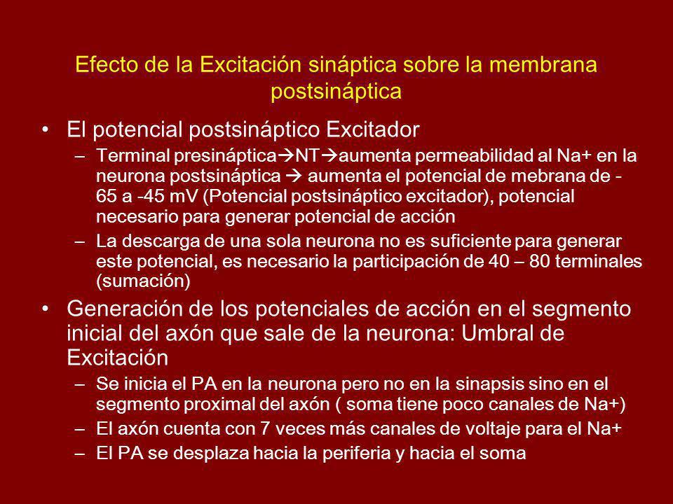 Efecto de la Excitación sináptica sobre la membrana postsináptica El potencial postsináptico Excitador –Terminal presináptica NT aumenta permeabilidad
