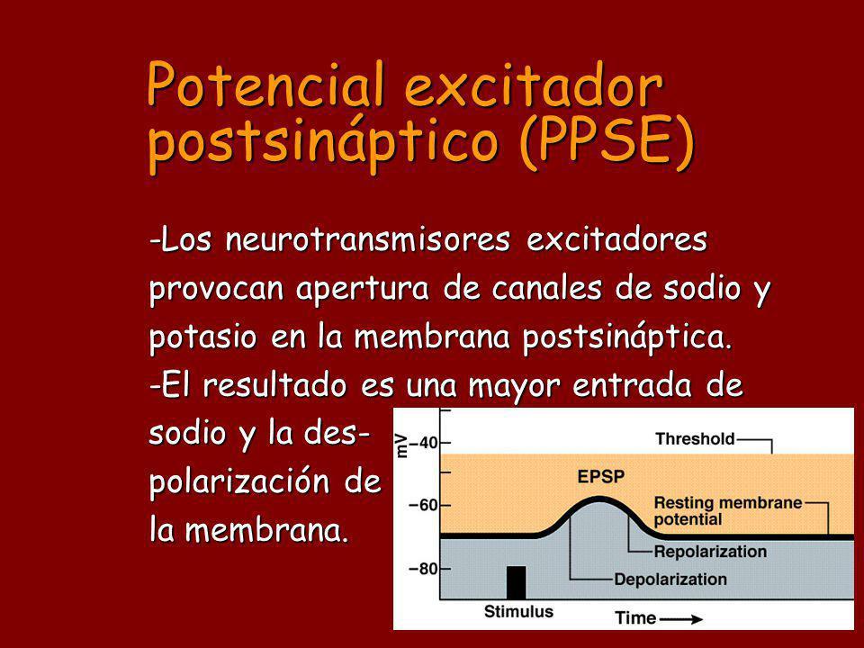Potencial excitador postsináptico (PPSE) -Los neurotransmisores excitadores provocan apertura de canales de sodio y potasio en la membrana postsináptica.