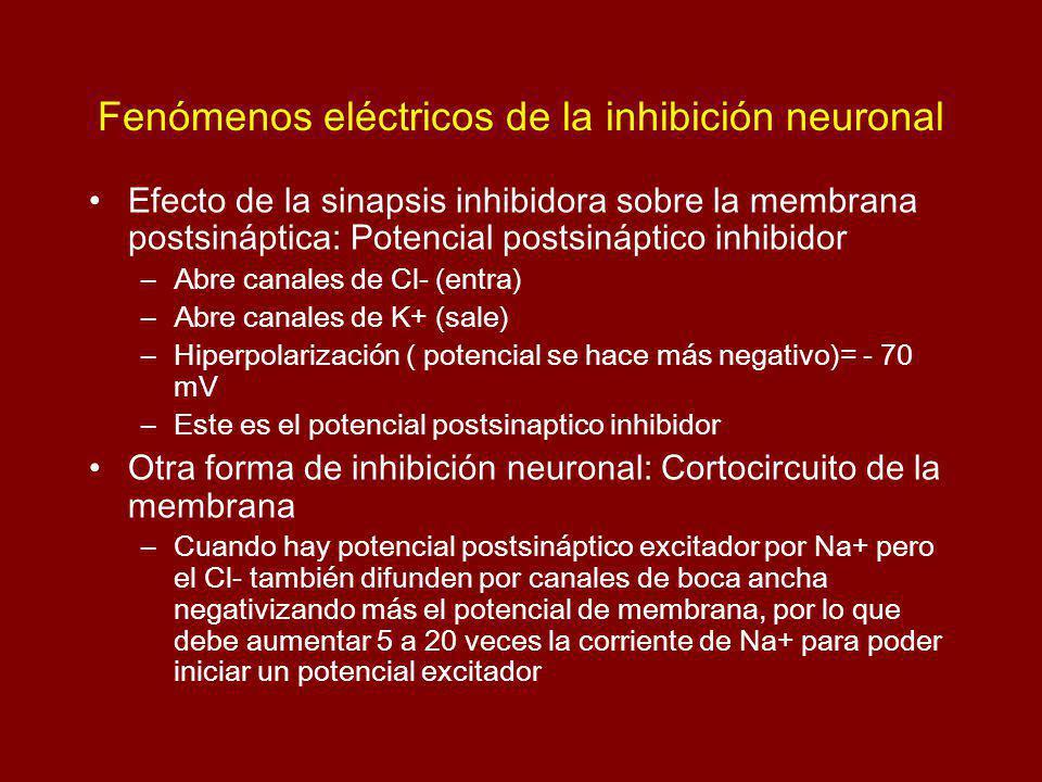 Fenómenos eléctricos de la inhibición neuronal Efecto de la sinapsis inhibidora sobre la membrana postsináptica: Potencial postsináptico inhibidor –Abre canales de Cl- (entra) –Abre canales de K+ (sale) –Hiperpolarización ( potencial se hace más negativo)= - 70 mV –Este es el potencial postsinaptico inhibidor Otra forma de inhibición neuronal: Cortocircuito de la membrana –Cuando hay potencial postsináptico excitador por Na+ pero el Cl- también difunden por canales de boca ancha negativizando más el potencial de membrana, por lo que debe aumentar 5 a 20 veces la corriente de Na+ para poder iniciar un potencial excitador