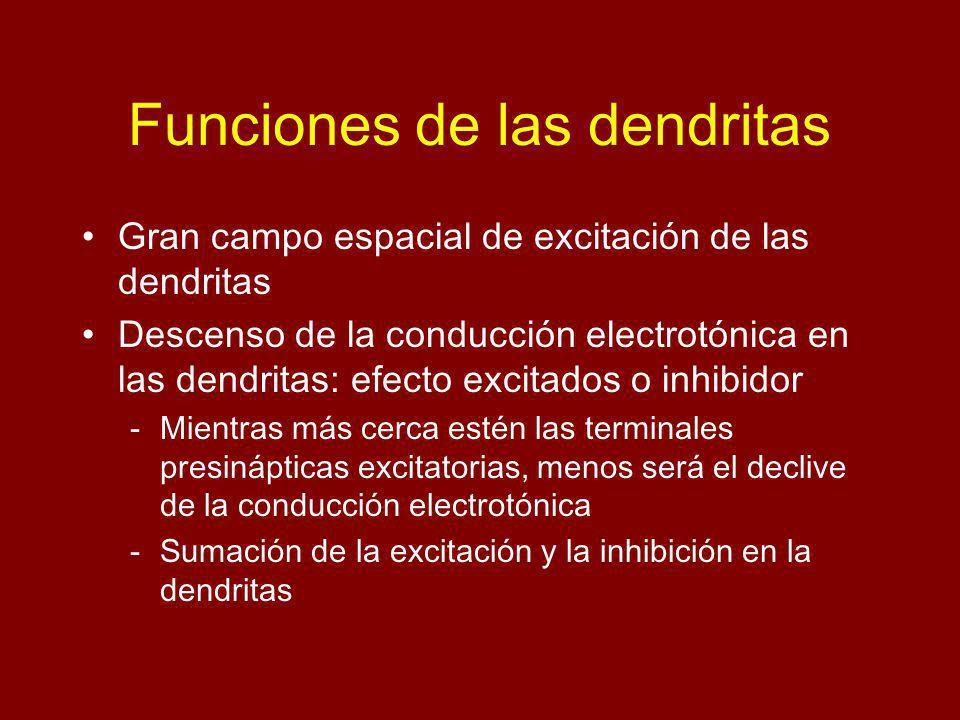 Funciones de las dendritas Gran campo espacial de excitación de las dendritas Descenso de la conducción electrotónica en las dendritas: efecto excitados o inhibidor -Mientras más cerca estén las terminales presinápticas excitatorias, menos será el declive de la conducción electrotónica -Sumación de la excitación y la inhibición en la dendritas