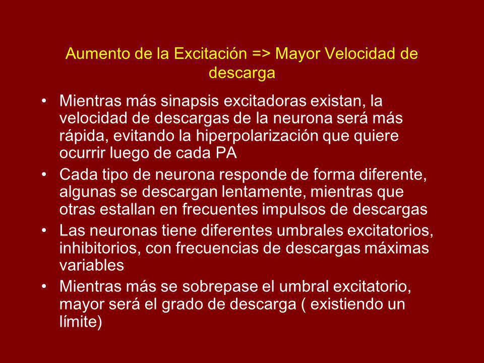 Aumento de la Excitación => Mayor Velocidad de descarga Mientras más sinapsis excitadoras existan, la velocidad de descargas de la neurona será más rápida, evitando la hiperpolarización que quiere ocurrir luego de cada PA Cada tipo de neurona responde de forma diferente, algunas se descargan lentamente, mientras que otras estallan en frecuentes impulsos de descargas Las neuronas tiene diferentes umbrales excitatorios, inhibitorios, con frecuencias de descargas máximas variables Mientras más se sobrepase el umbral excitatorio, mayor será el grado de descarga ( existiendo un límite)