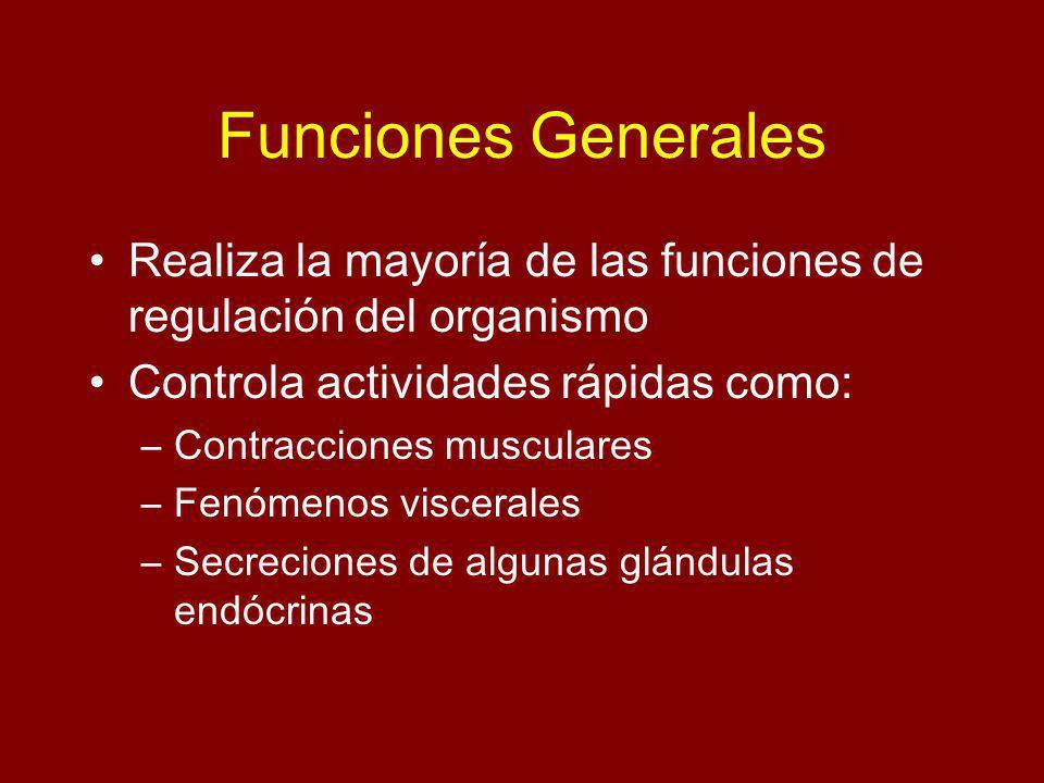 Funciones Generales Realiza la mayoría de las funciones de regulación del organismo Controla actividades rápidas como: –Contracciones musculares –Fenómenos viscerales –Secreciones de algunas glándulas endócrinas