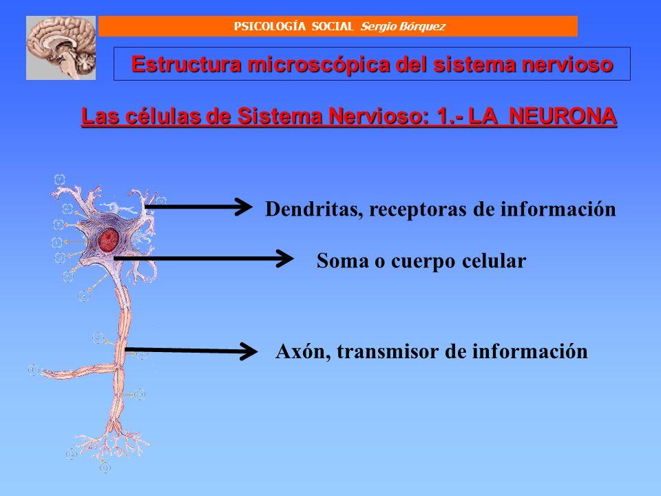 Estructura microscópica del sistema nervioso LAS DENDRITAS Prolongaciones de la neurona, cuya función es la de recibir información nerviosa desde otras neuronas, o desde el plasma sanguíneo.