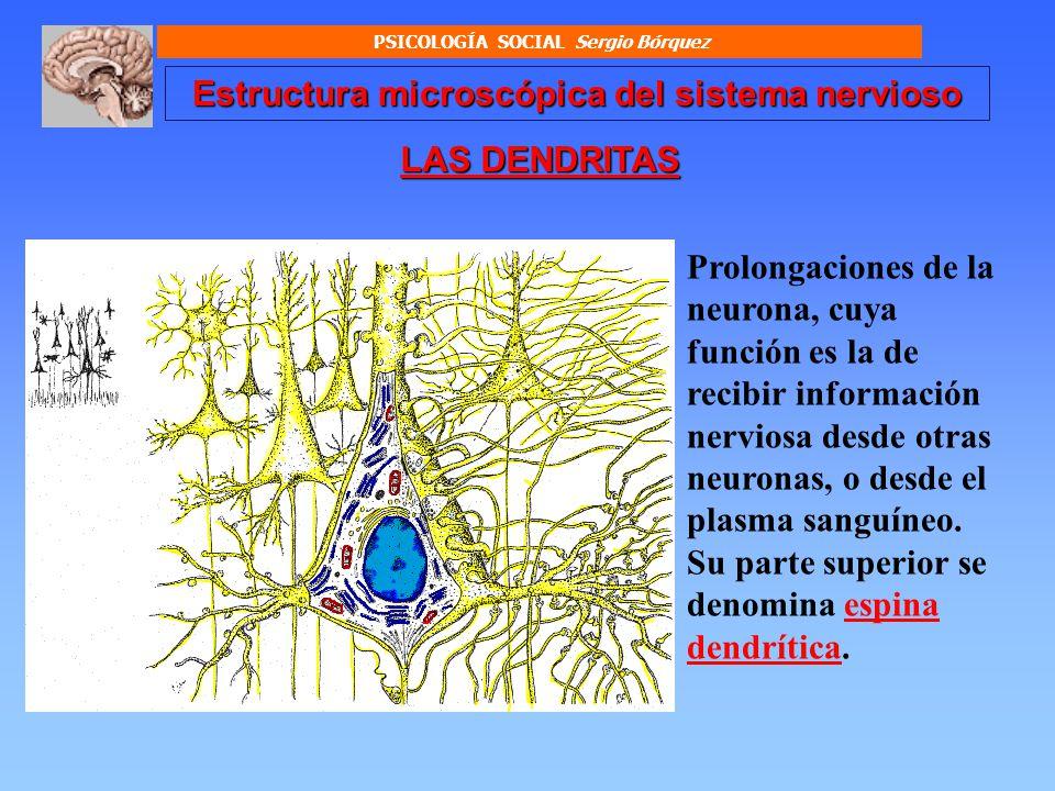 Estructura microscópica del sistema nervioso SOMA O CUERPO CELULAR DE LA NEURONA Está conformado por: Membrana celular Citoplasma Núcleo PSICOLOGÍA SOCIAL Sergio Bórquez