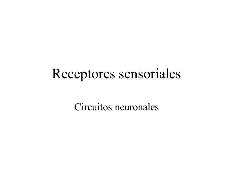 Receptores sensoriales Circuitos neuronales
