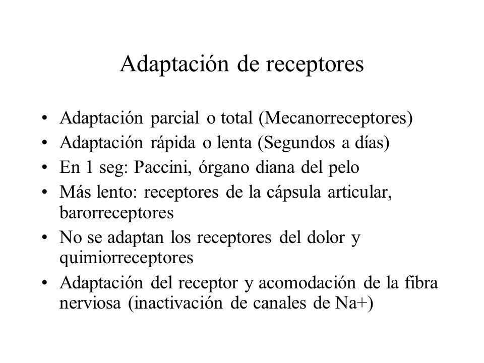 Adaptación de receptores Adaptación parcial o total (Mecanorreceptores) Adaptación rápida o lenta (Segundos a días) En 1 seg: Paccini, órgano diana de