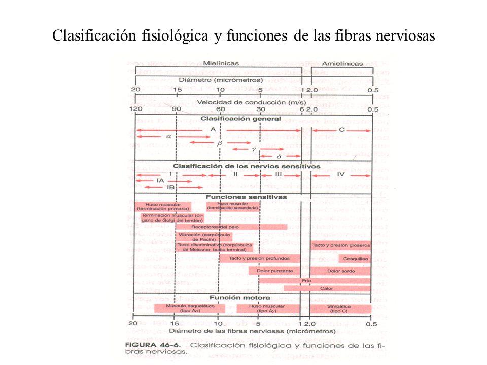 Clasificación fisiológica y funciones de las fibras nerviosas