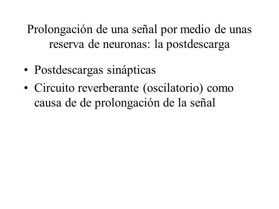 Prolongación de una señal por medio de unas reserva de neuronas: la postdescarga Postdescargas sinápticas Circuito reverberante (oscilatorio) como cau