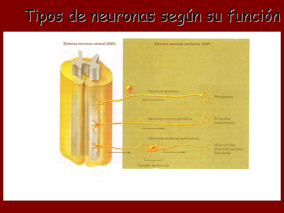Tipos de neuronas según su función