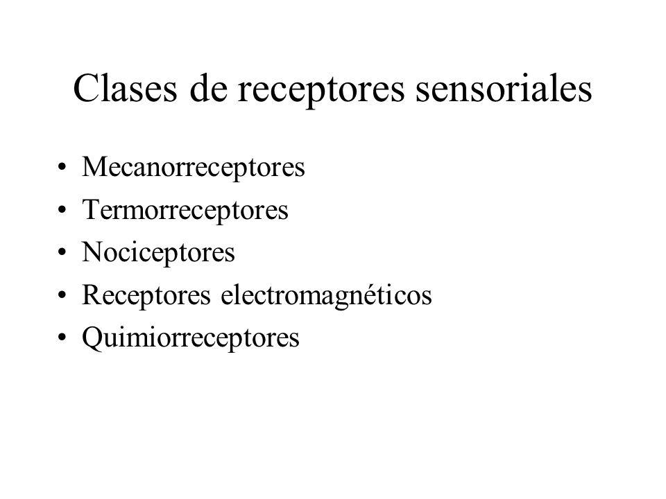 Clases de receptores sensoriales Mecanorreceptores Termorreceptores Nociceptores Receptores electromagnéticos Quimiorreceptores