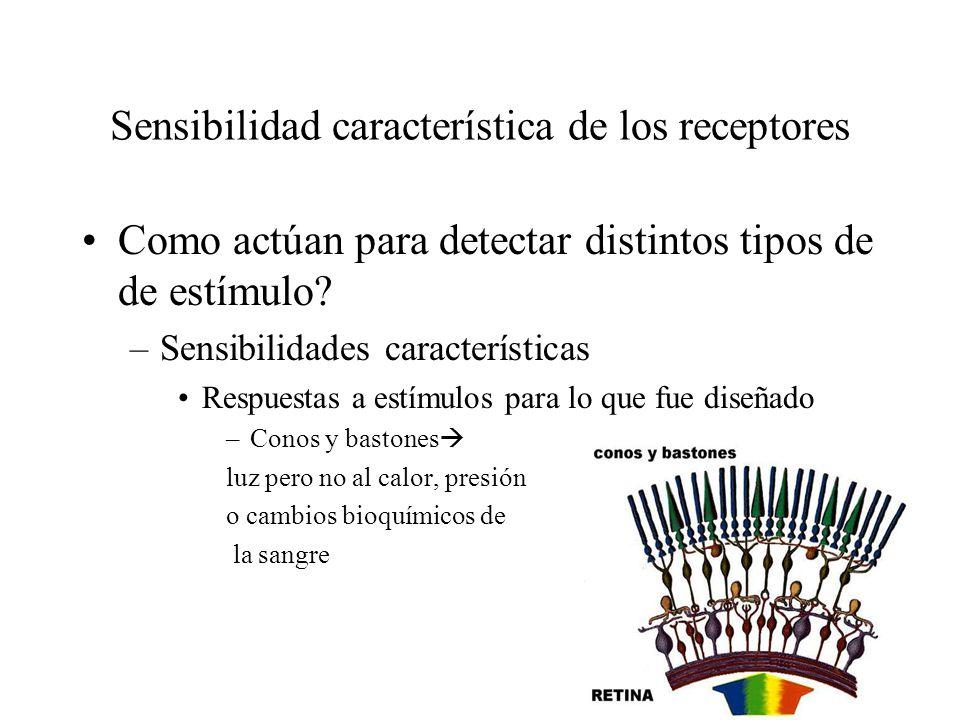 Sensibilidad característica de los receptores Como actúan para detectar distintos tipos de de estímulo? –Sensibilidades características Respuestas a e