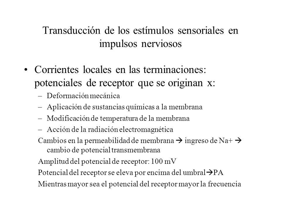 Transducción de los estímulos sensoriales en impulsos nerviosos Corrientes locales en las terminaciones: potenciales de receptor que se originan x: –D