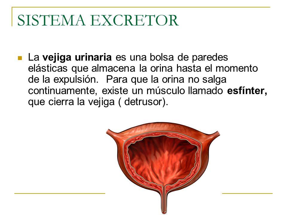 SISTEMA EXCRETOR La vejiga urinaria es una bolsa de paredes elásticas que almacena la orina hasta el momento de la expulsión.