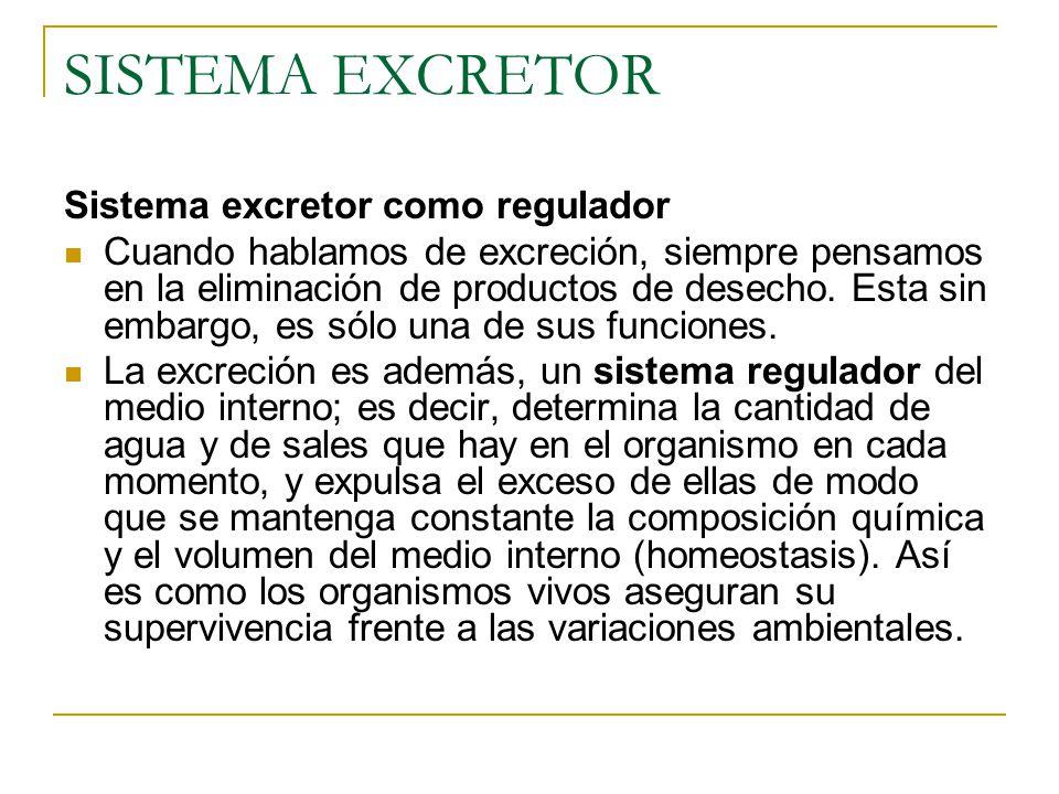 SISTEMA EXCRETOR Sistema excretor como regulador Cuando hablamos de excreción, siempre pensamos en la eliminación de productos de desecho.