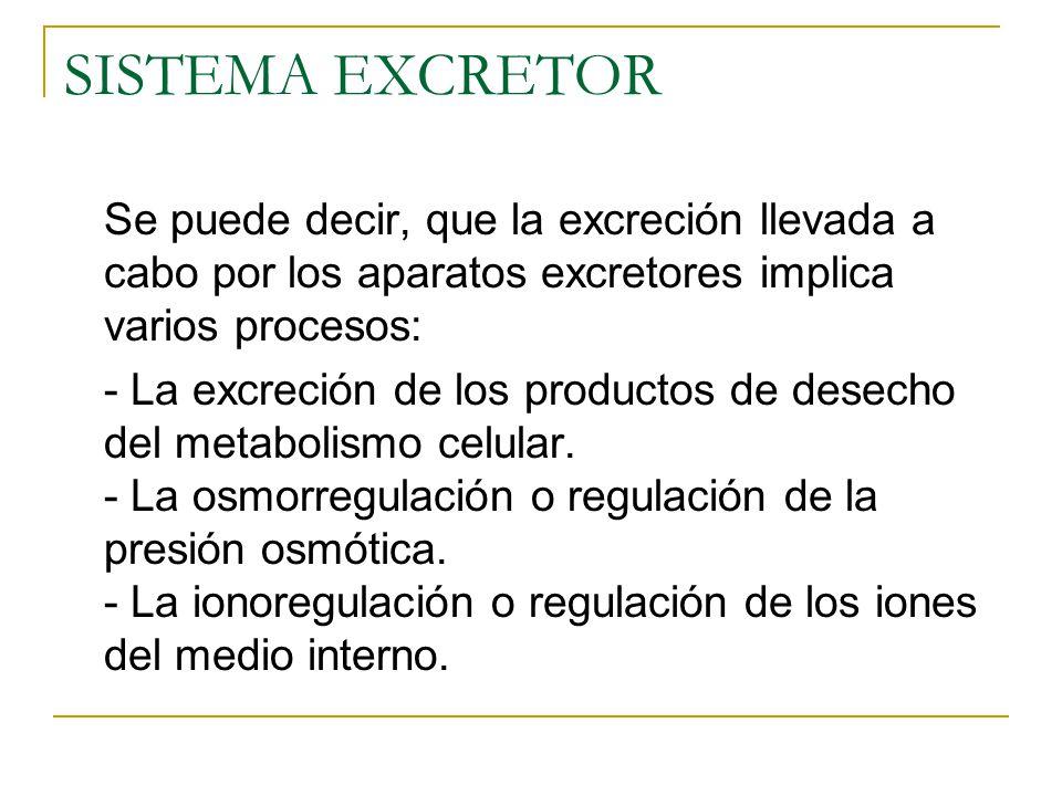 SISTEMA EXCRETOR Se puede decir, que la excreción llevada a cabo por los aparatos excretores implica varios procesos: - La excreción de los productos de desecho del metabolismo celular.