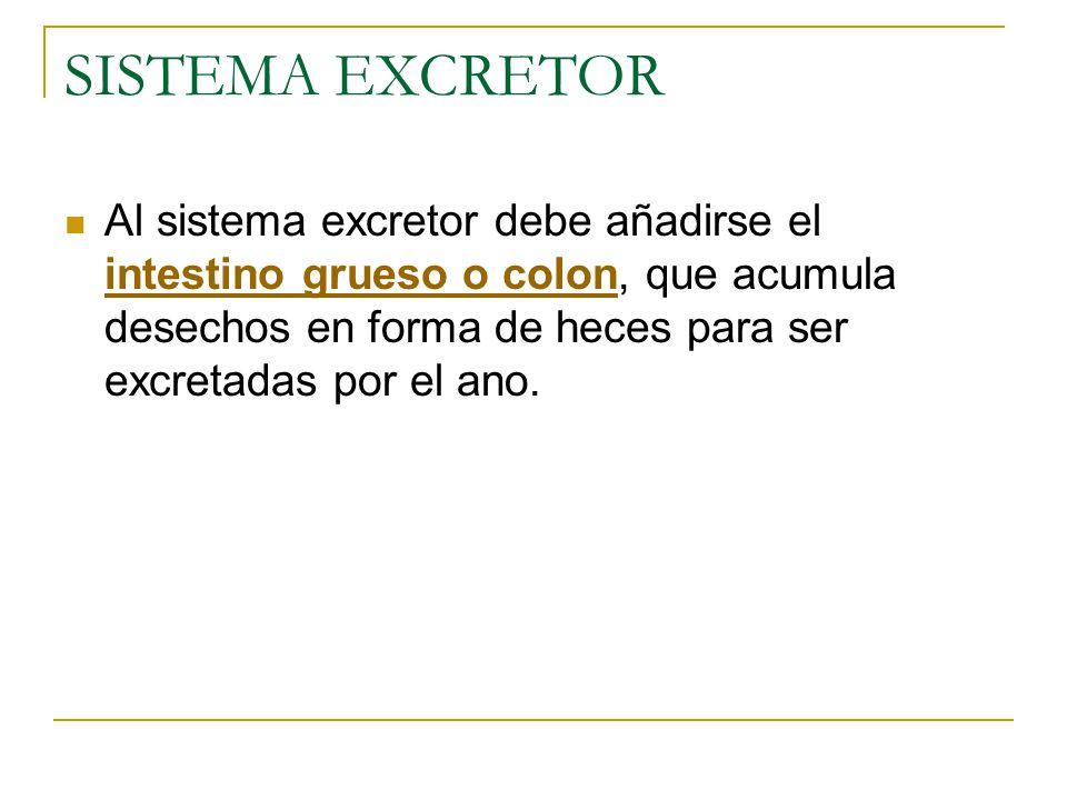 SISTEMA EXCRETOR Al sistema excretor debe añadirse el intestino grueso o colon, que acumula desechos en forma de heces para ser excretadas por el ano.