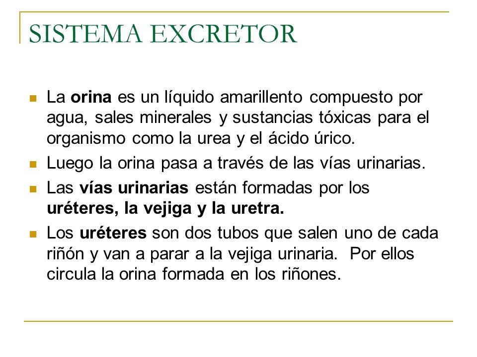 SISTEMA EXCRETOR La orina es un líquido amarillento compuesto por agua, sales minerales y sustancias tóxicas para el organismo como la urea y el ácido úrico.