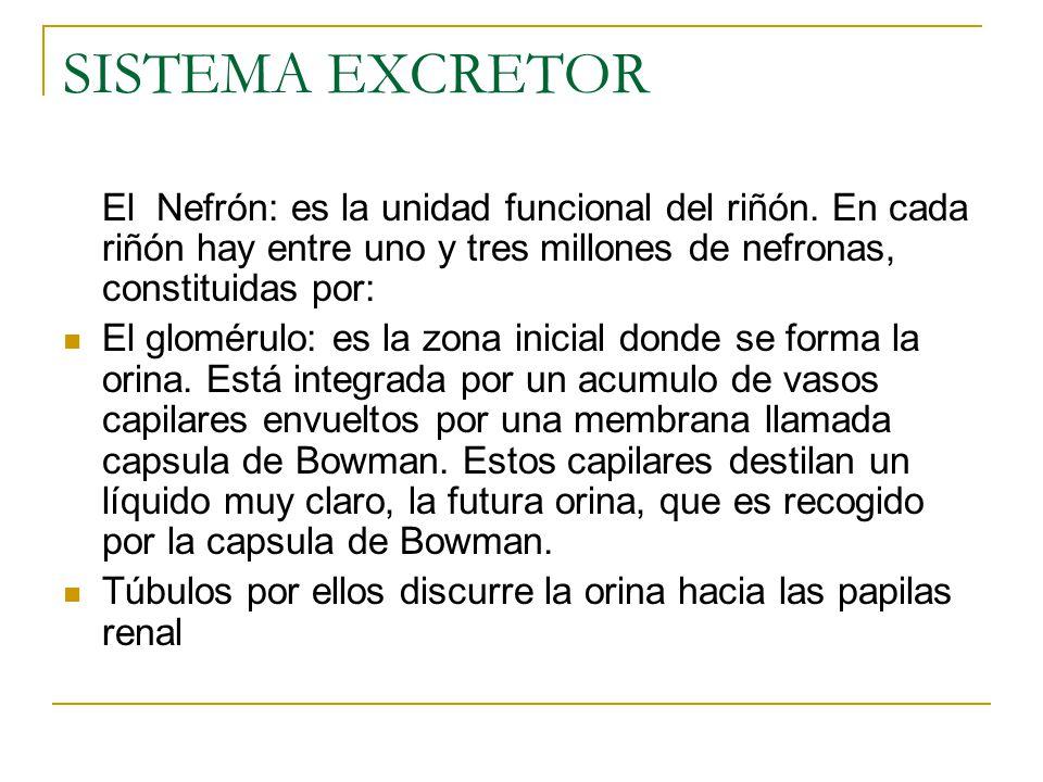 SISTEMA EXCRETOR El Nefrón: es la unidad funcional del riñón.