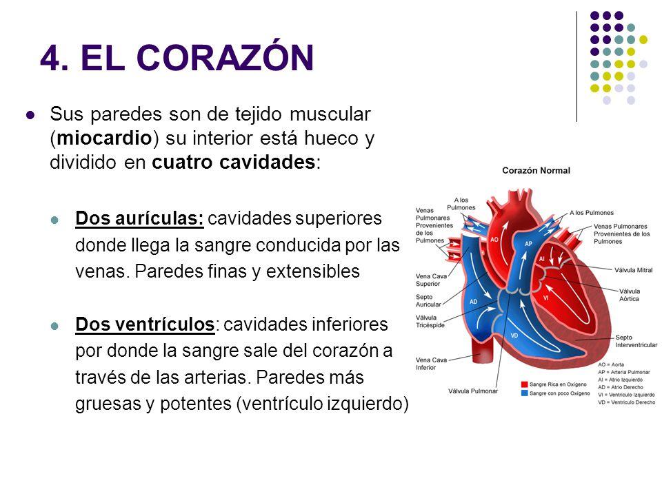 Recorrido de la sangre: La sangre rica en CO 2 entra al corazón a través de las venas cavas que desembocan en la aurícula derecha.