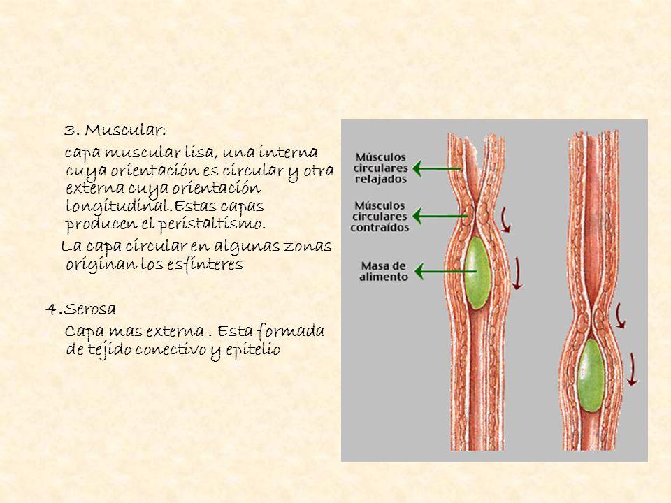 3. Muscular: capa muscular lisa, una interna cuya orientación es circular y otra externa cuya orientación longitudinal.Estas capas producen el perista