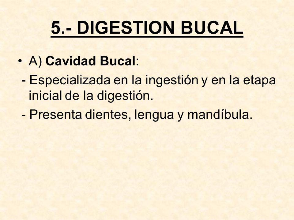5.- DIGESTION BUCAL A) Cavidad Bucal: - Especializada en la ingestión y en la etapa inicial de la digestión.