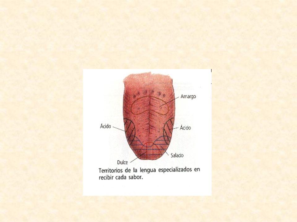 B) Glándulas Salivales: Son 3 pares de glándulas ubicadas simétricamente en la cavidad bucal.