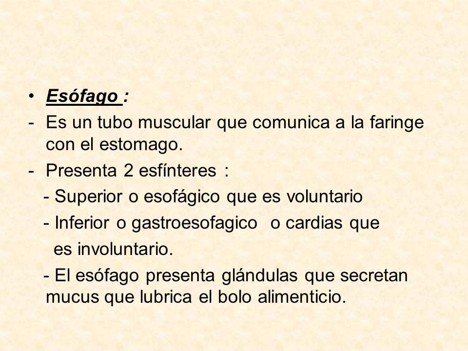 7.- Digestión Estomacal El estomago es un saco muscular de paredes gruesas.