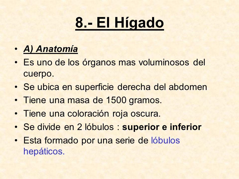 8.- El Hígado A) Anatomía Es uno de los órganos mas voluminosos del cuerpo.