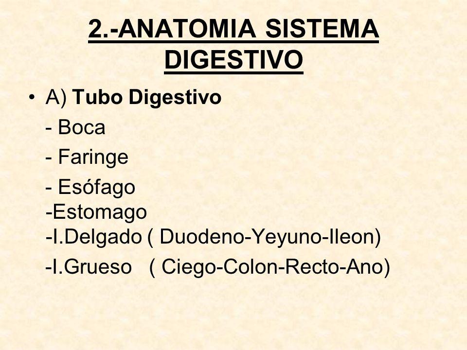 B) Glándulas Anexas : - Glándulas Salivales : - Parotidas - Sublinguales - Submaxilares - Hígado - Páncreas