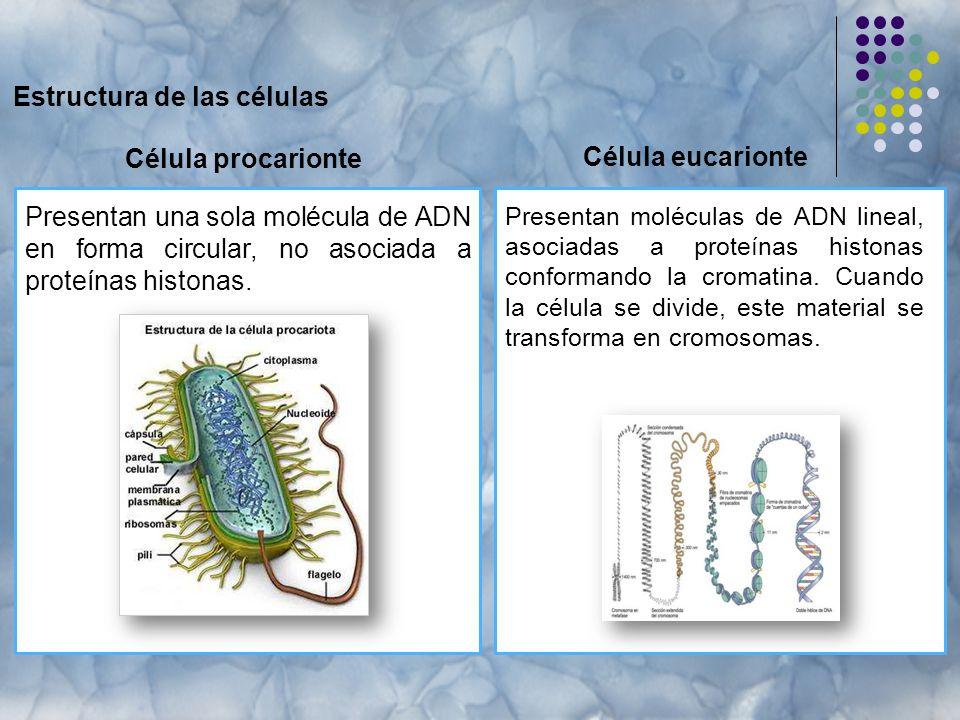 Estructura de las células Célula procarionte Presentan moléculas de ADN lineal, asociadas a proteínas histonas conformando la cromatina.