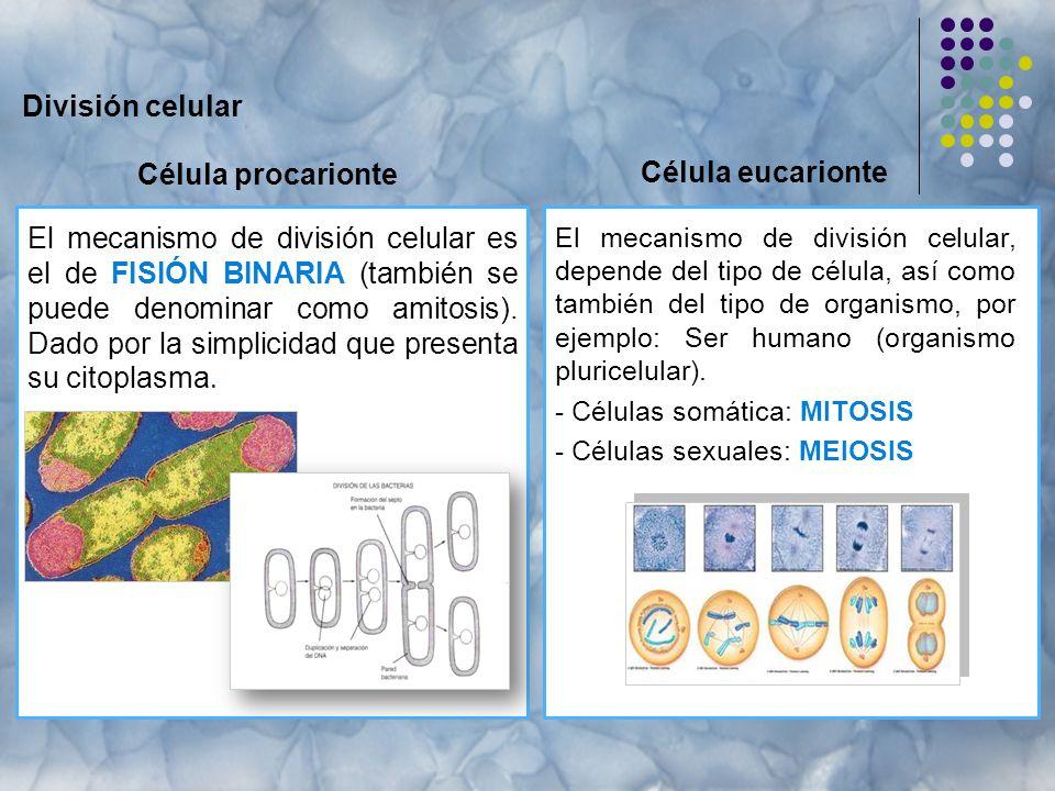 División celular Célula procarionte El mecanismo de división celular, depende del tipo de célula, así como también del tipo de organismo, por ejemplo: Ser humano (organismo pluricelular).