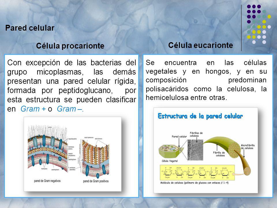 Pared celular Célula procarionte Se encuentra en las células vegetales y en hongos, y en su composición predominan polisacáridos como la celulosa, la hemicelulosa entre otras.