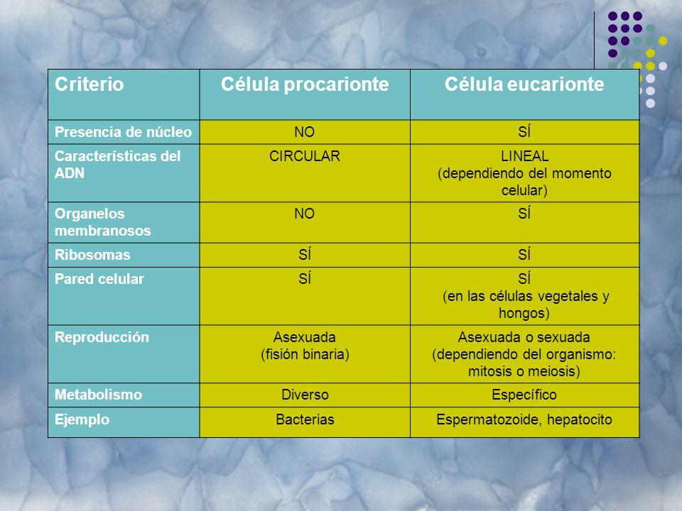 CriterioCélula procarionteCélula eucarionte Presencia de núcleoNOSÍ Características del ADN CIRCULARLINEAL (dependiendo del momento celular) Organelos membranosos NOSÍ RibosomasSÍ Pared celularSÍ (en las células vegetales y hongos) ReproducciónAsexuada (fisión binaria) Asexuada o sexuada (dependiendo del organismo: mitosis o meiosis) MetabolismoDiversoEspecífico EjemploBacteriasEspermatozoide, hepatocito
