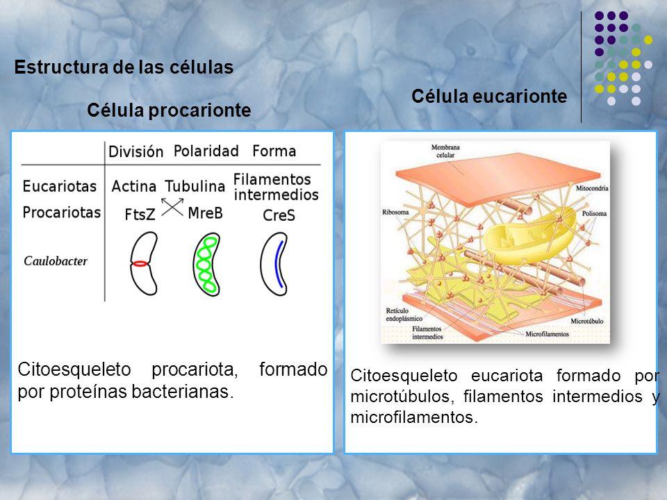 Estructura de las células Célula procarionte Citoesqueleto eucariota formado por microtúbulos, filamentos intermedios y microfilamentos.