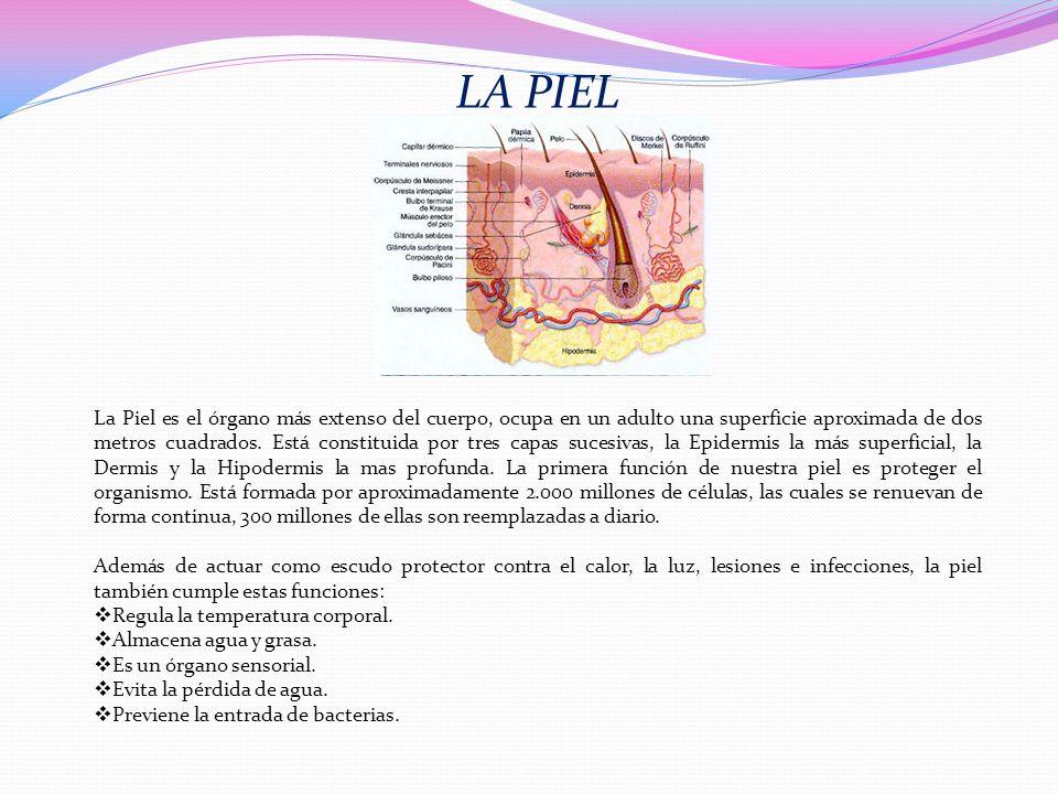 LA PIEL La Piel es el órgano más extenso del cuerpo, ocupa en un adulto una superficie aproximada de dos metros cuadrados. Está constituida por tres c