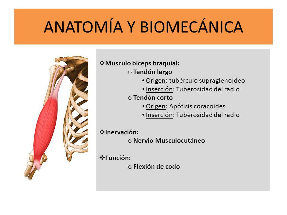 ANATOMÍA Y BIOMECÁNICA Musculo bíceps braquial: o Tendón largo Origen: tubérculo supraglenoídeo Inserción: Tuberosidad del radio o Tendón corto Origen