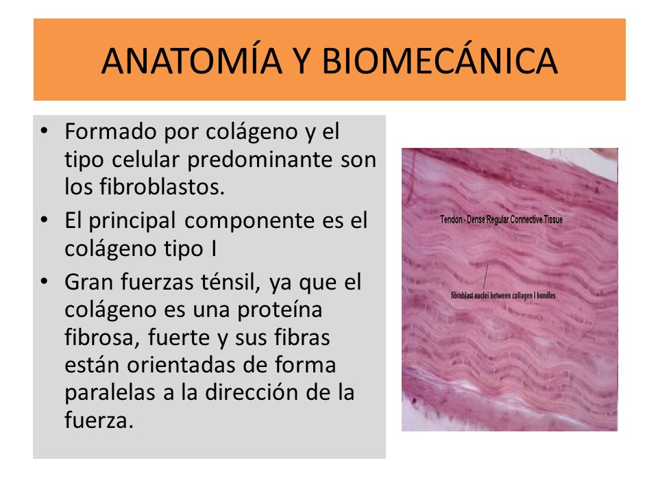 ANATOMÍA Y BIOMECÁNICA Formado por colágeno y el tipo celular predominante son los fibroblastos. El principal componente es el colágeno tipo I Gran fu