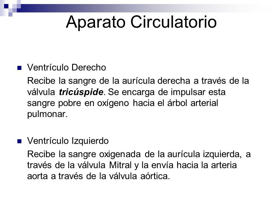 Aparato Circulatorio Ventrículo Derecho Recibe la sangre de la aurícula derecha a través de la válvula tricúspide. Se encarga de impulsar esta sangre