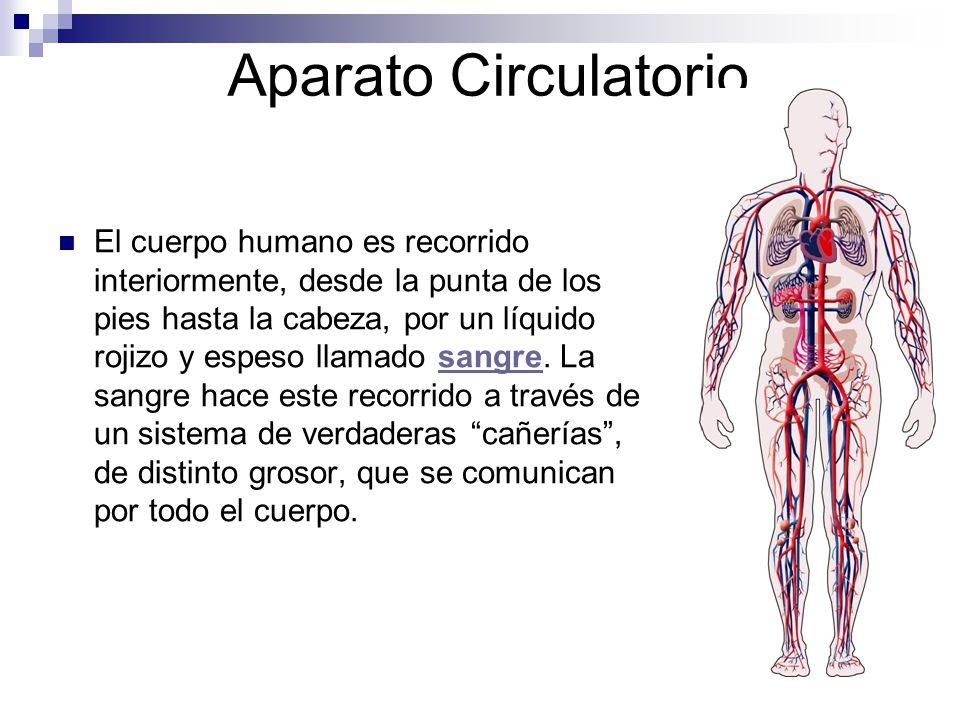 Aparato Circulatorio El cuerpo humano es recorrido interiormente, desde la punta de los pies hasta la cabeza, por un líquido rojizo y espeso llamado s