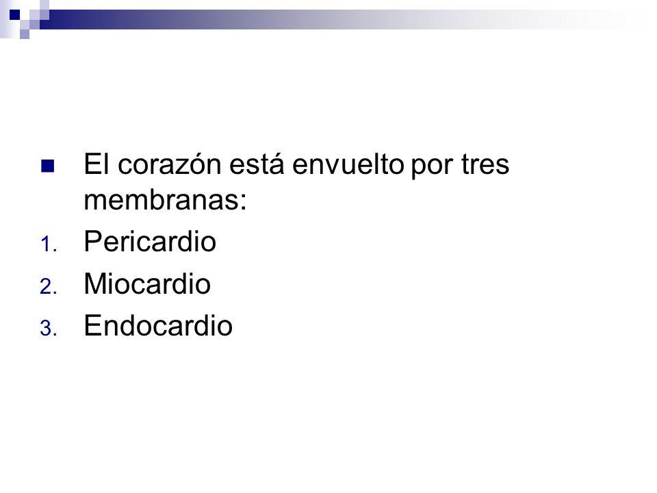 El corazón está envuelto por tres membranas: 1. Pericardio 2. Miocardio 3. Endocardio
