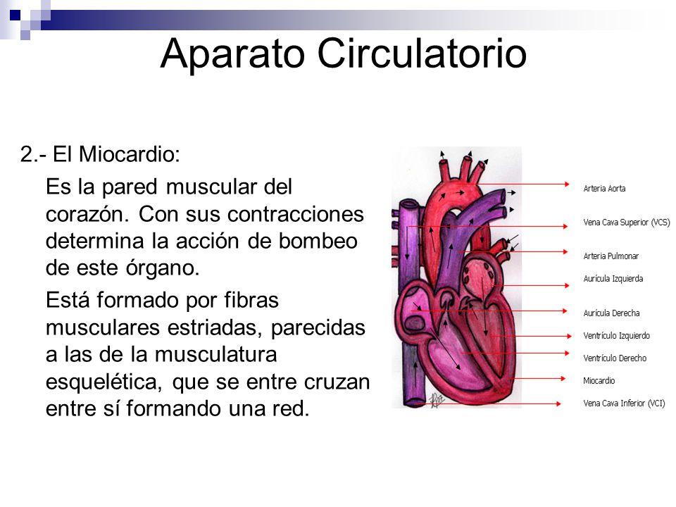 Aparato Circulatorio 2.- El Miocardio: Es la pared muscular del corazón. Con sus contracciones determina la acción de bombeo de este órgano. Está form