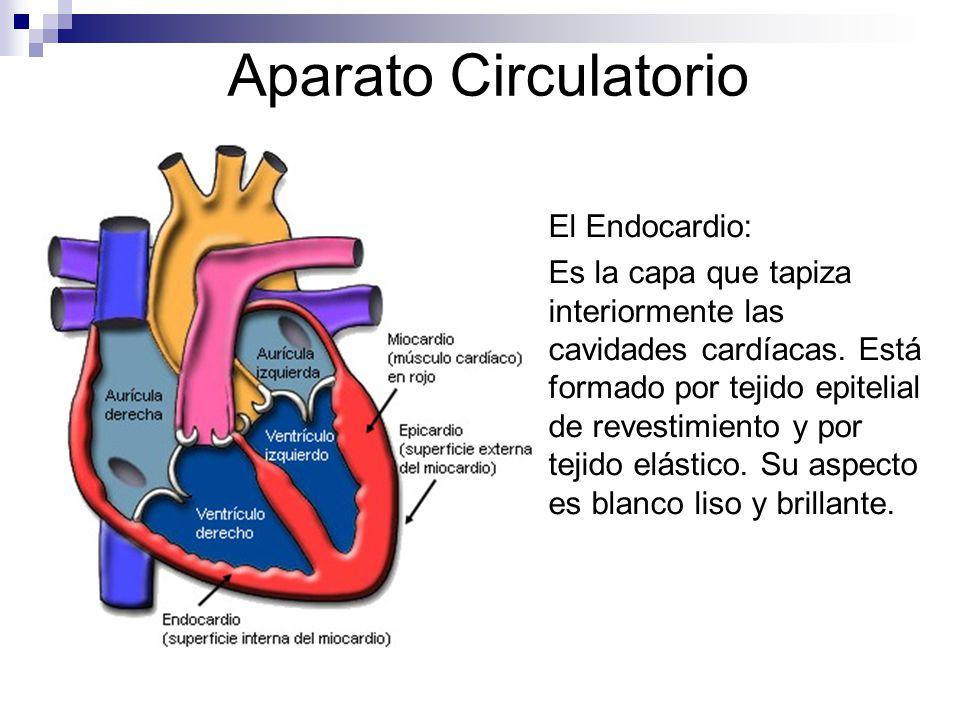 Aparato Circulatorio El Endocardio: Es la capa que tapiza interiormente las cavidades cardíacas. Está formado por tejido epitelial de revestimiento y