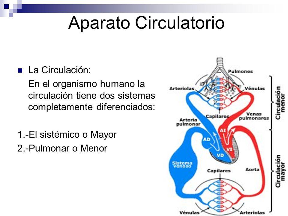 Aparato Circulatorio La Circulación: En el organismo humano la circulación tiene dos sistemas completamente diferenciados: 1.-El sistémico o Mayor 2.-