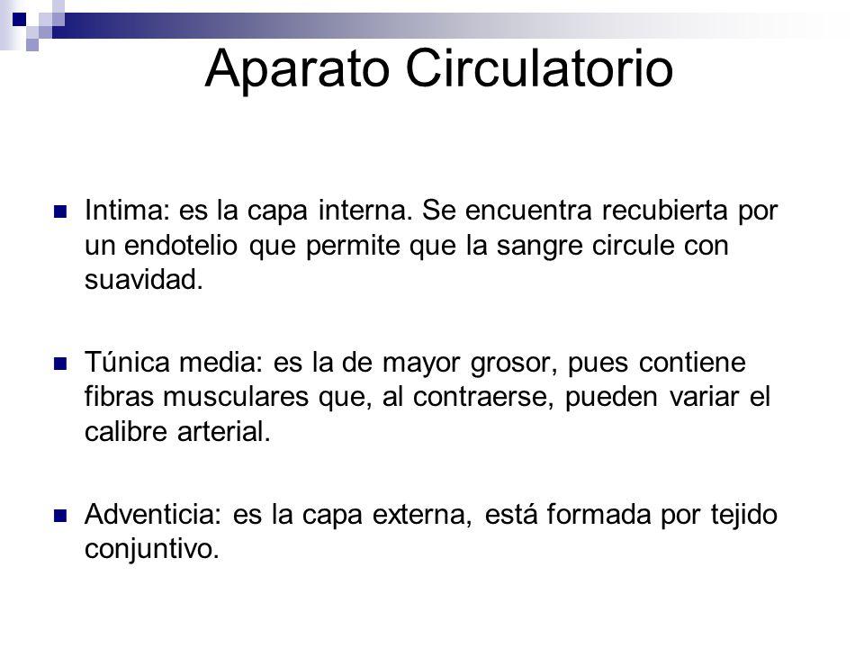 Aparato Circulatorio Intima: es la capa interna. Se encuentra recubierta por un endotelio que permite que la sangre circule con suavidad. Túnica media